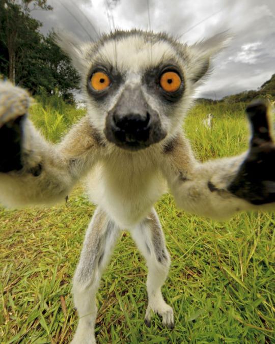 Selfie muy animal: lemur_selfie_curioso