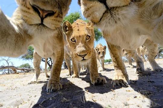 Selfie muy animal: leones_selfie